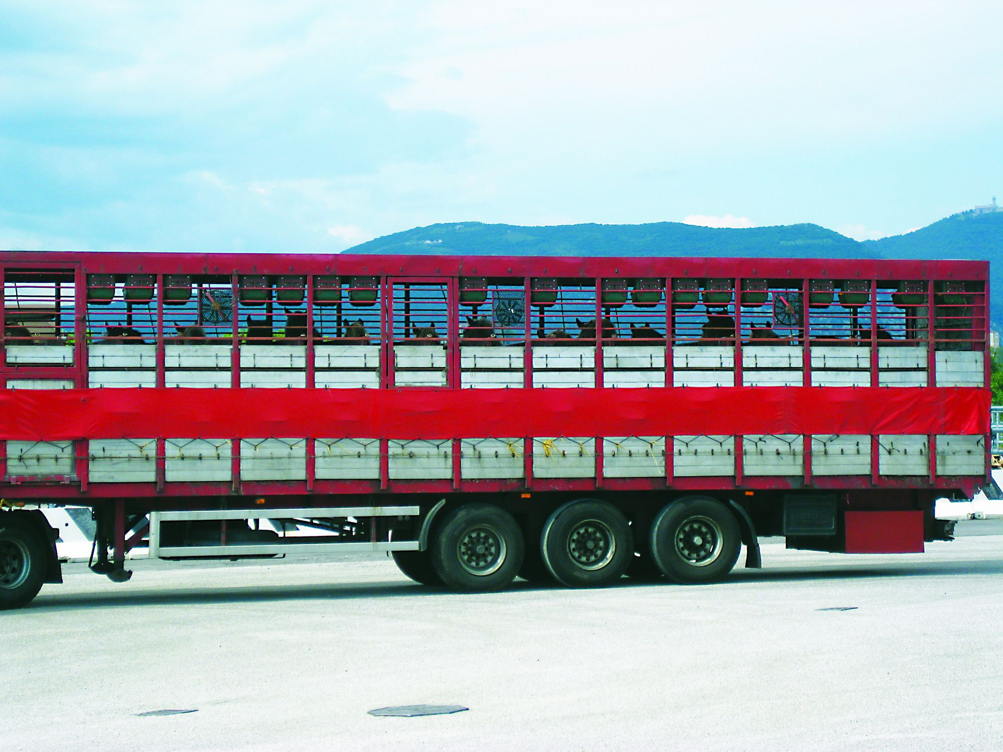 Horses being transported to slaughter-2