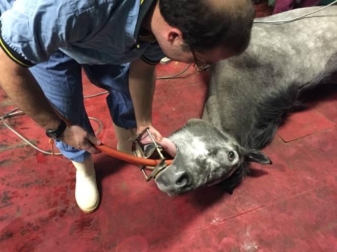 equine anaesthesia