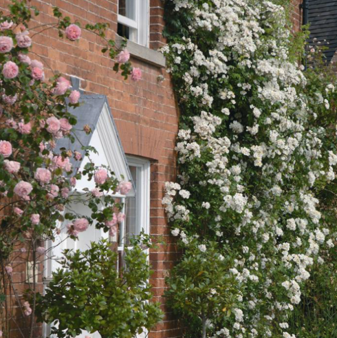 Rambling Rector Rose</a>